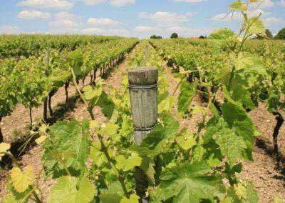 La vigne de La Botte